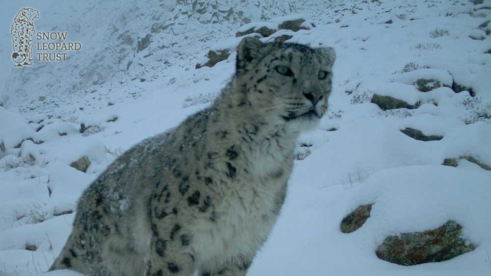 Snow Leopard Day 2019